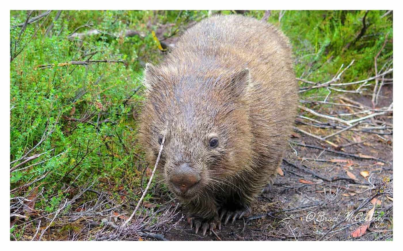 Wombat on the overland track