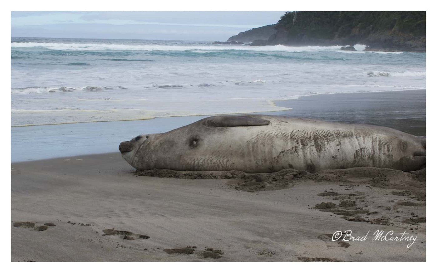 Elephant Seal on the beach in Tasmania Australia