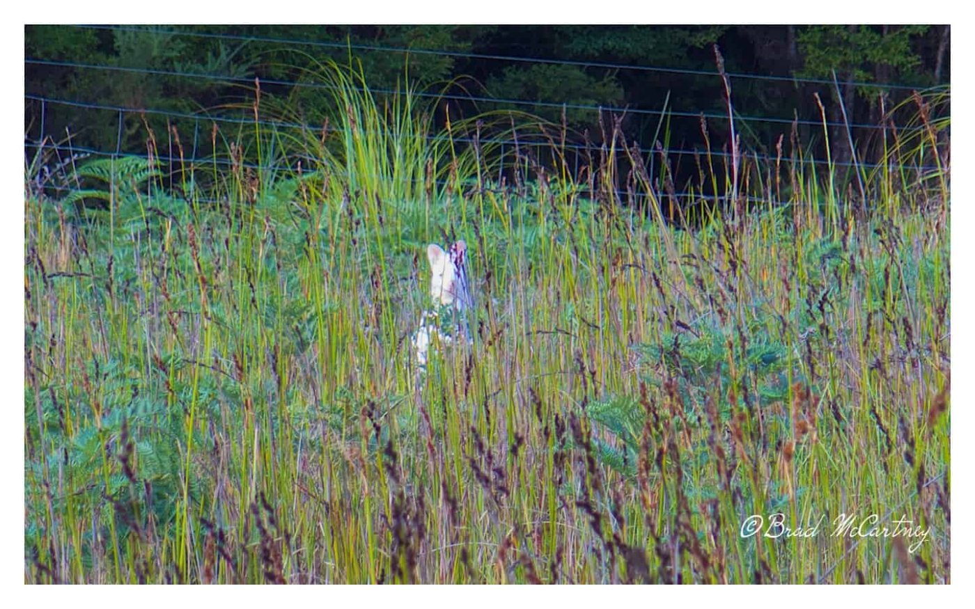 Bad picture of the White Wallaby
