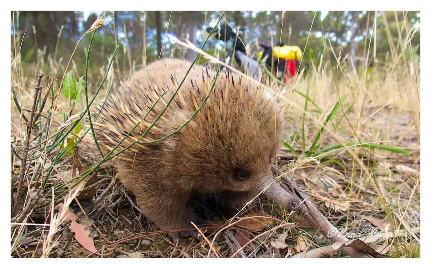 cycling bruny island with the echidnas