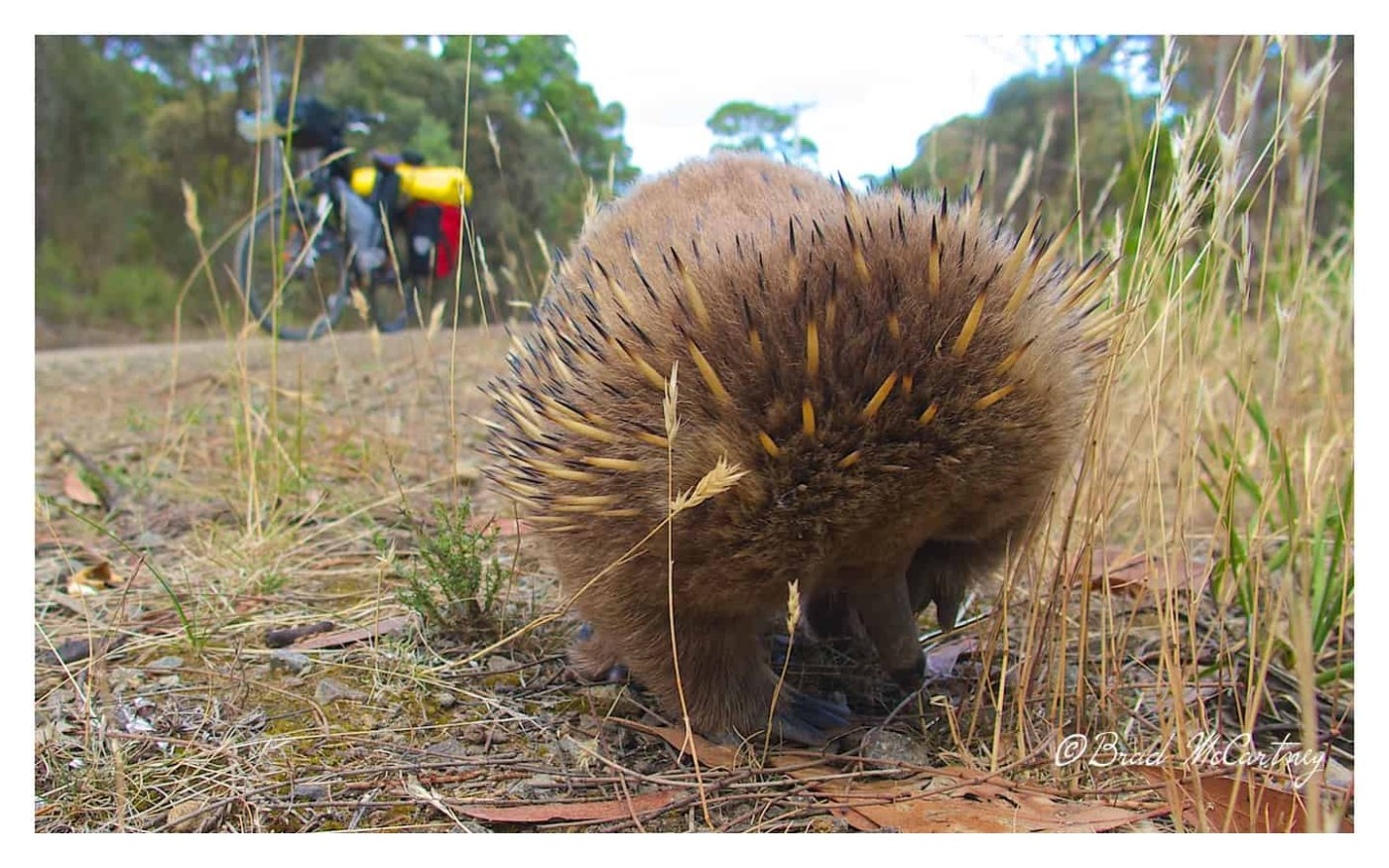 cycling bruny island and seeing an echidna