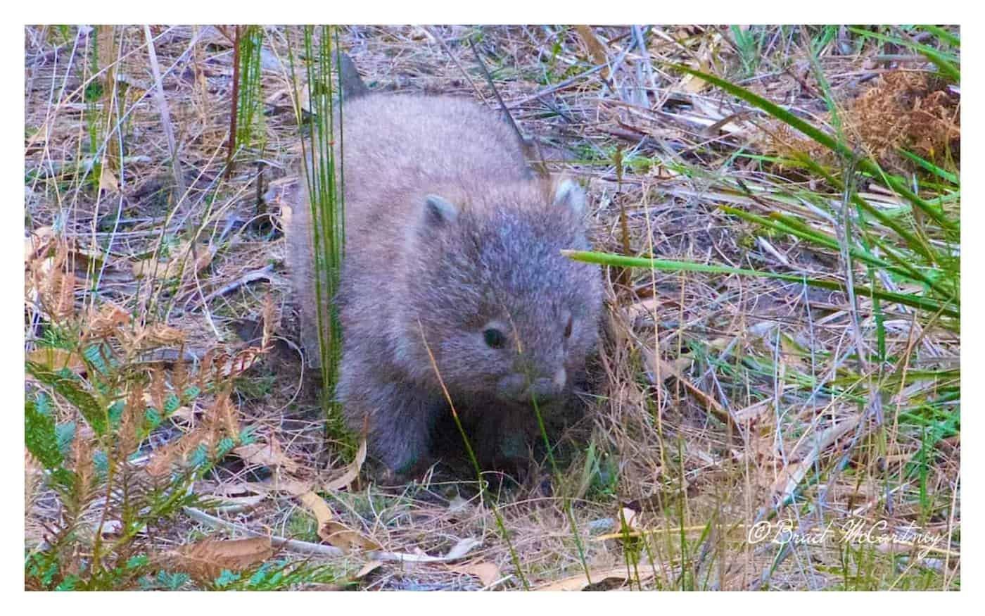 Wombat near Encampment