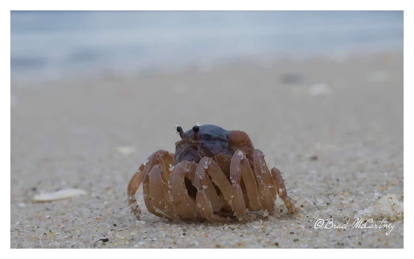 Maria Island Crab