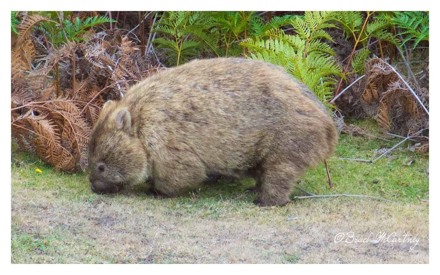 Wombats of Maria Island