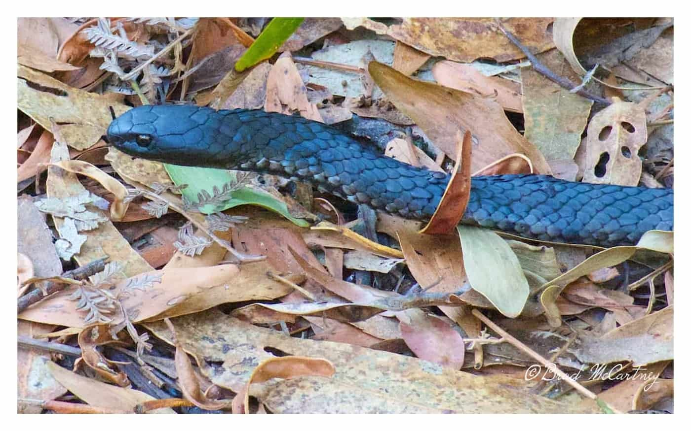 Tiger Snake on the inland track