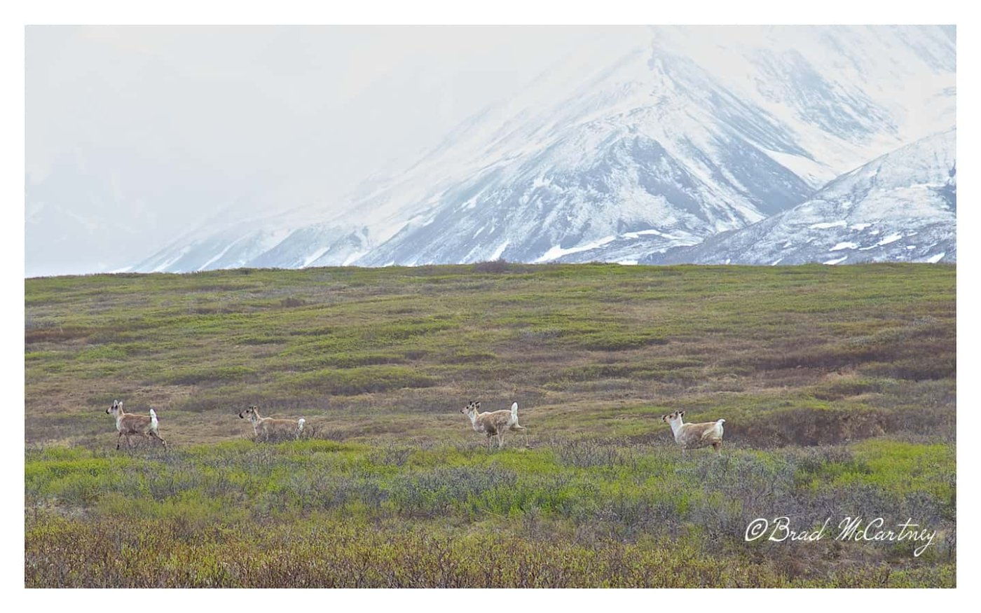 Caribou denali national park