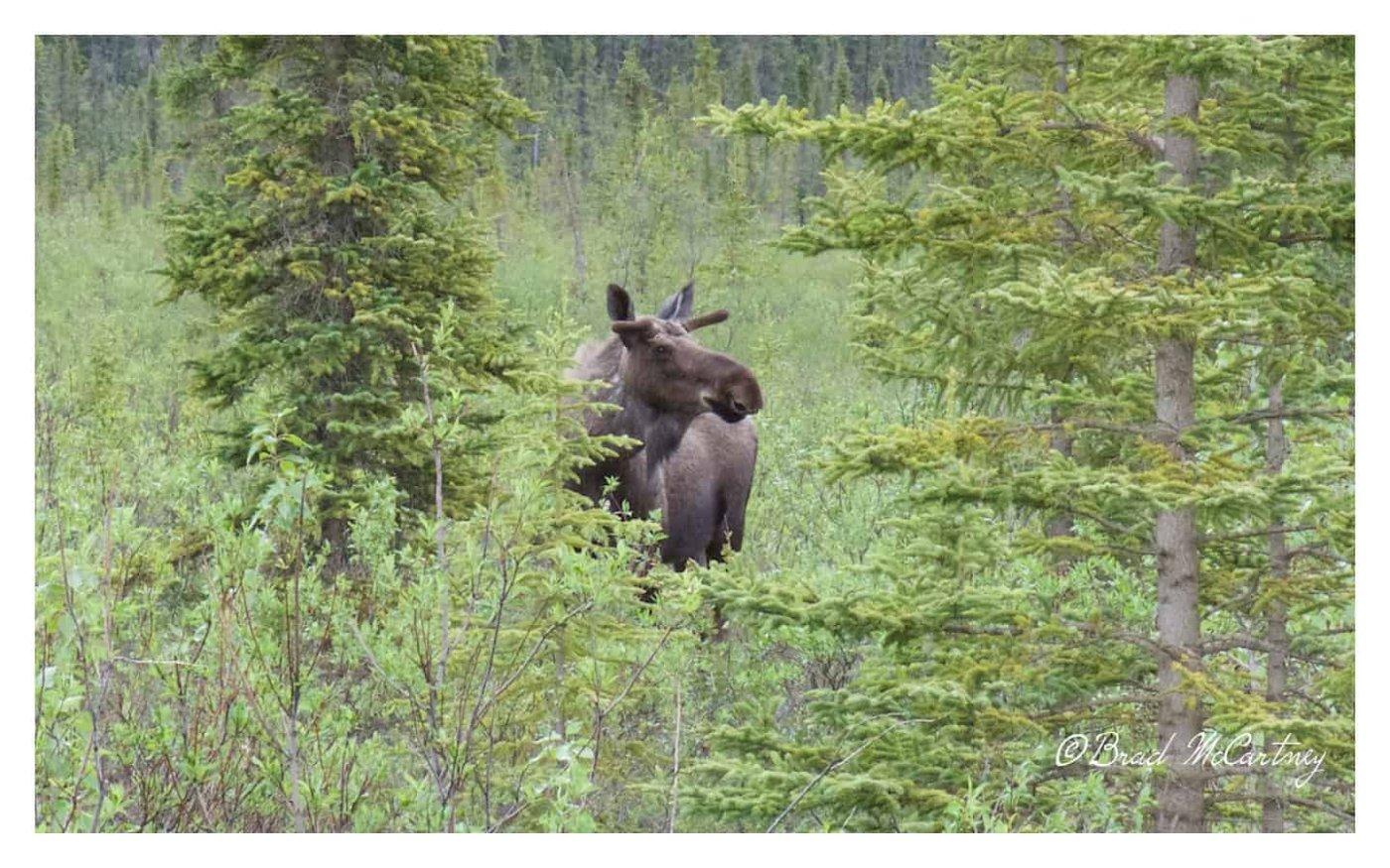 Moose dalton highway