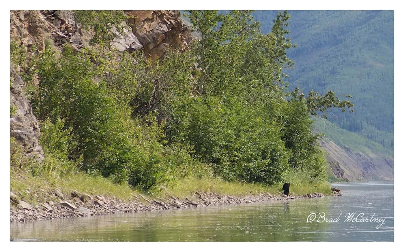 I canoed past this Black Bear and didn't see it until I passed it, then it took off upstream