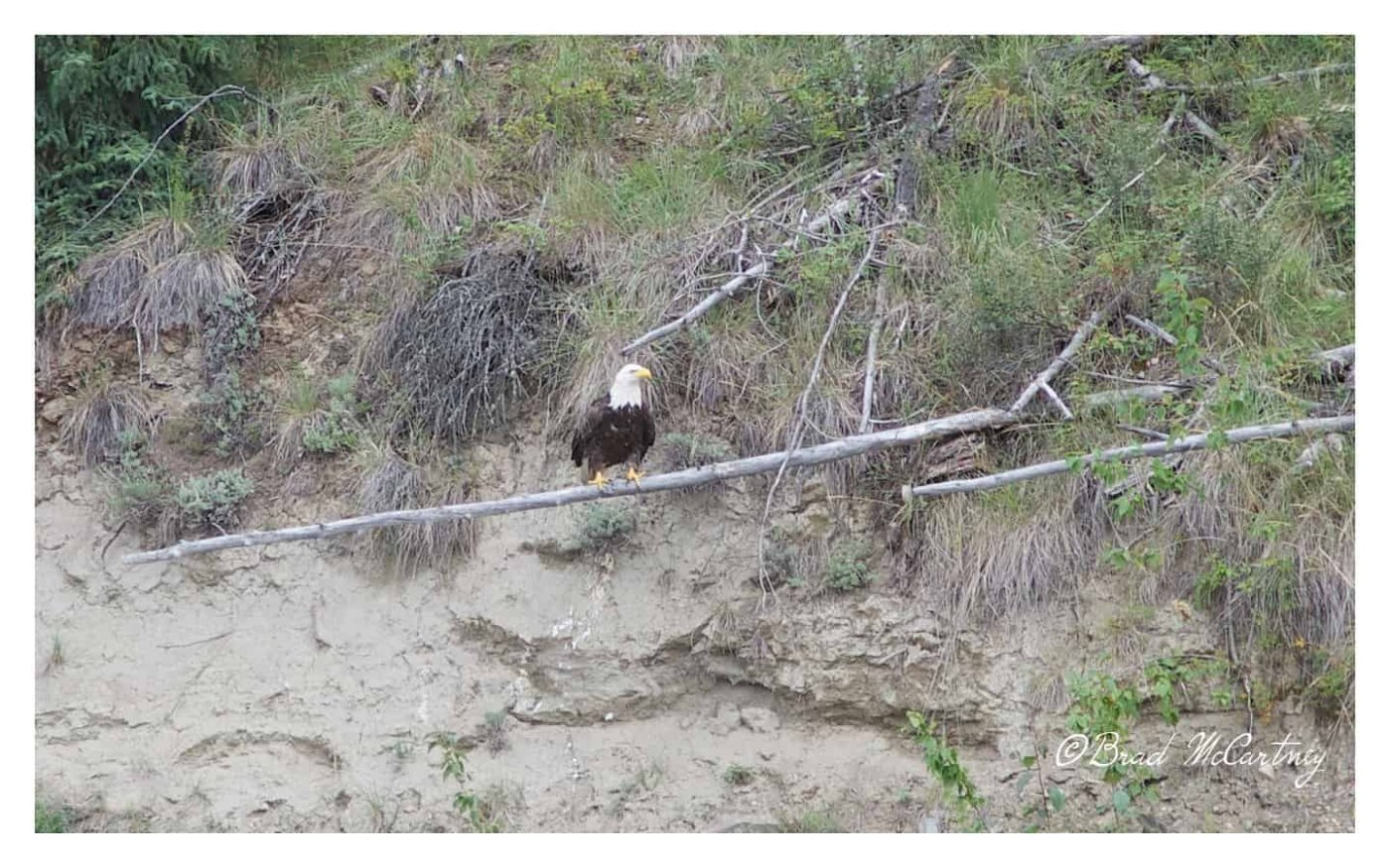 bald Eagle yukon river