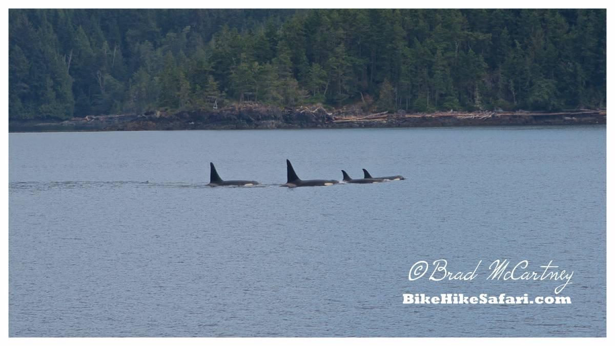 Killer Whales of Telegraph Cove