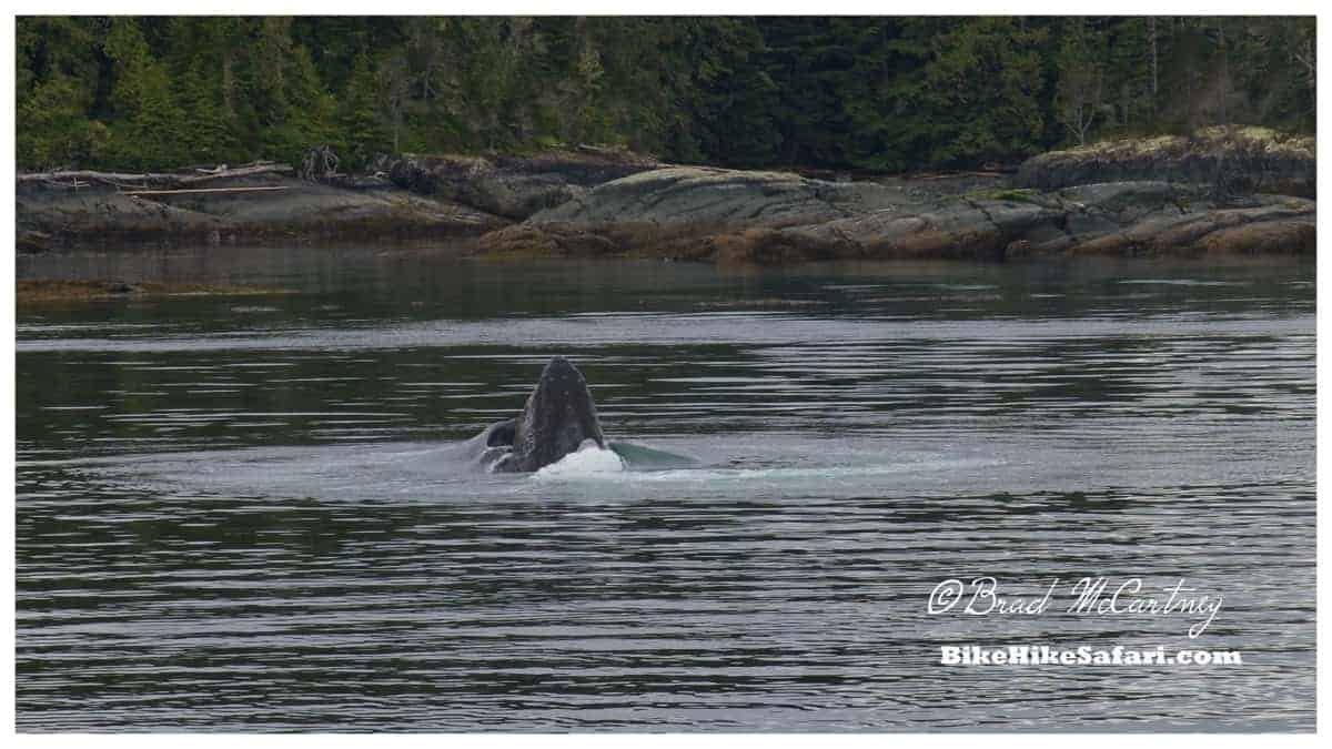 Bubble net feeding Humpback Whale