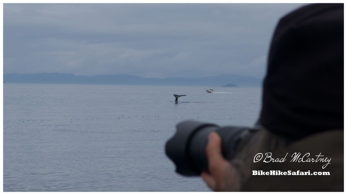 Photographer could be excused for pointing the camera in the wrong direction. Truth is there were several Whales all round the vessel