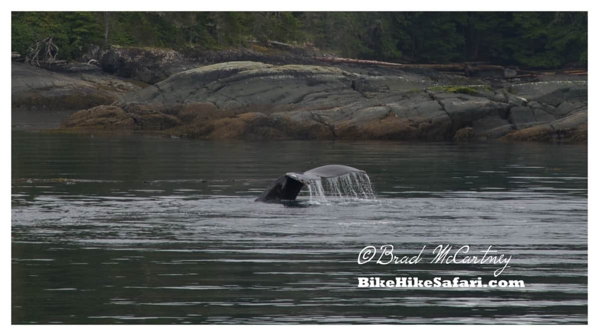 Humpback Whale diving to start bubble net feeding again