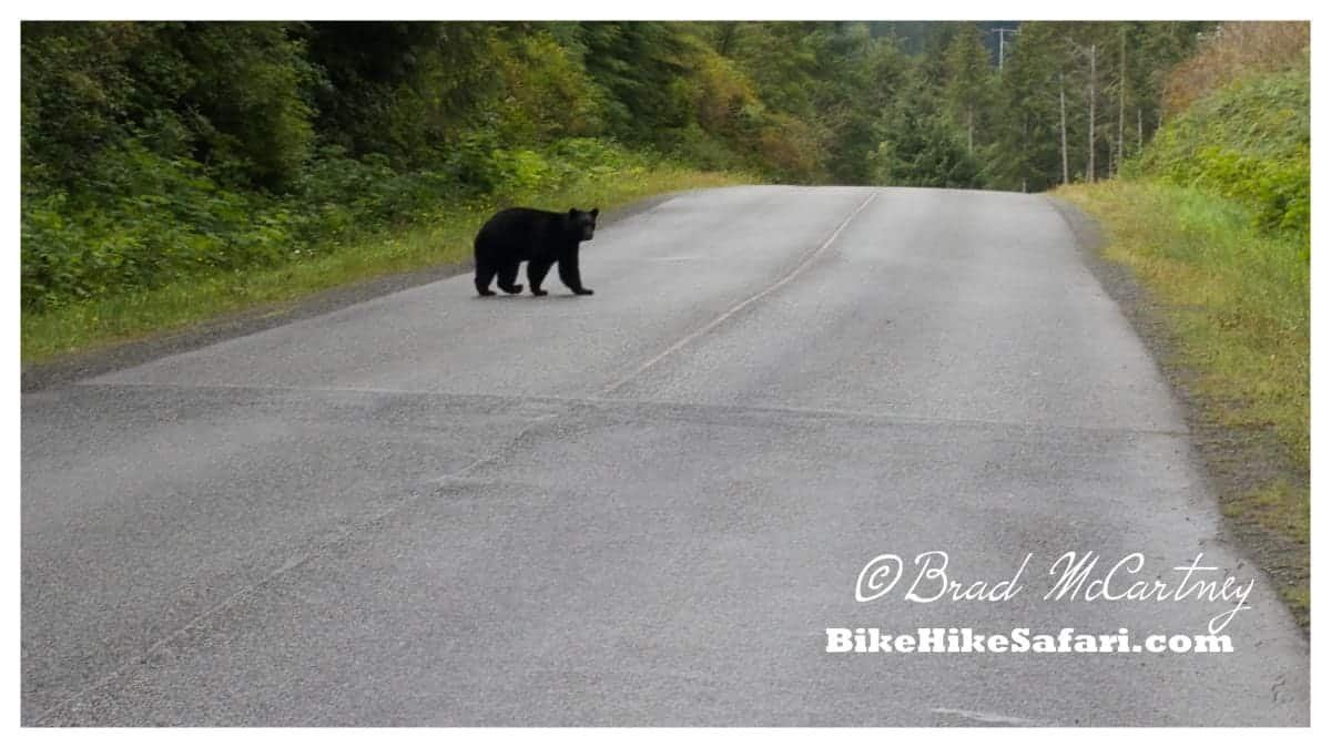 Black Bear checking me out while cycling vancouver island
