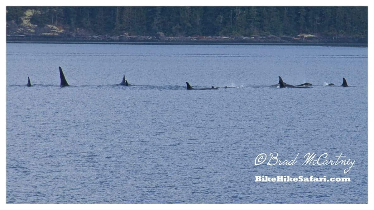 More Killer Whales