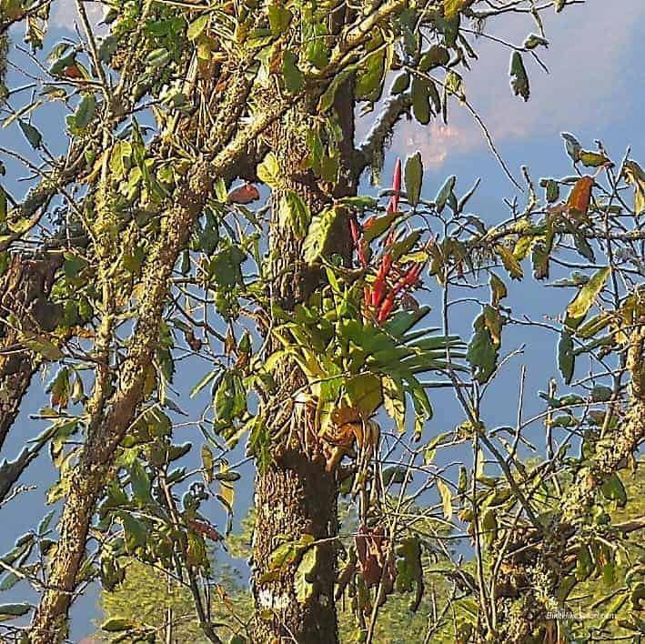 Parasitic Fern Sierra Gorda