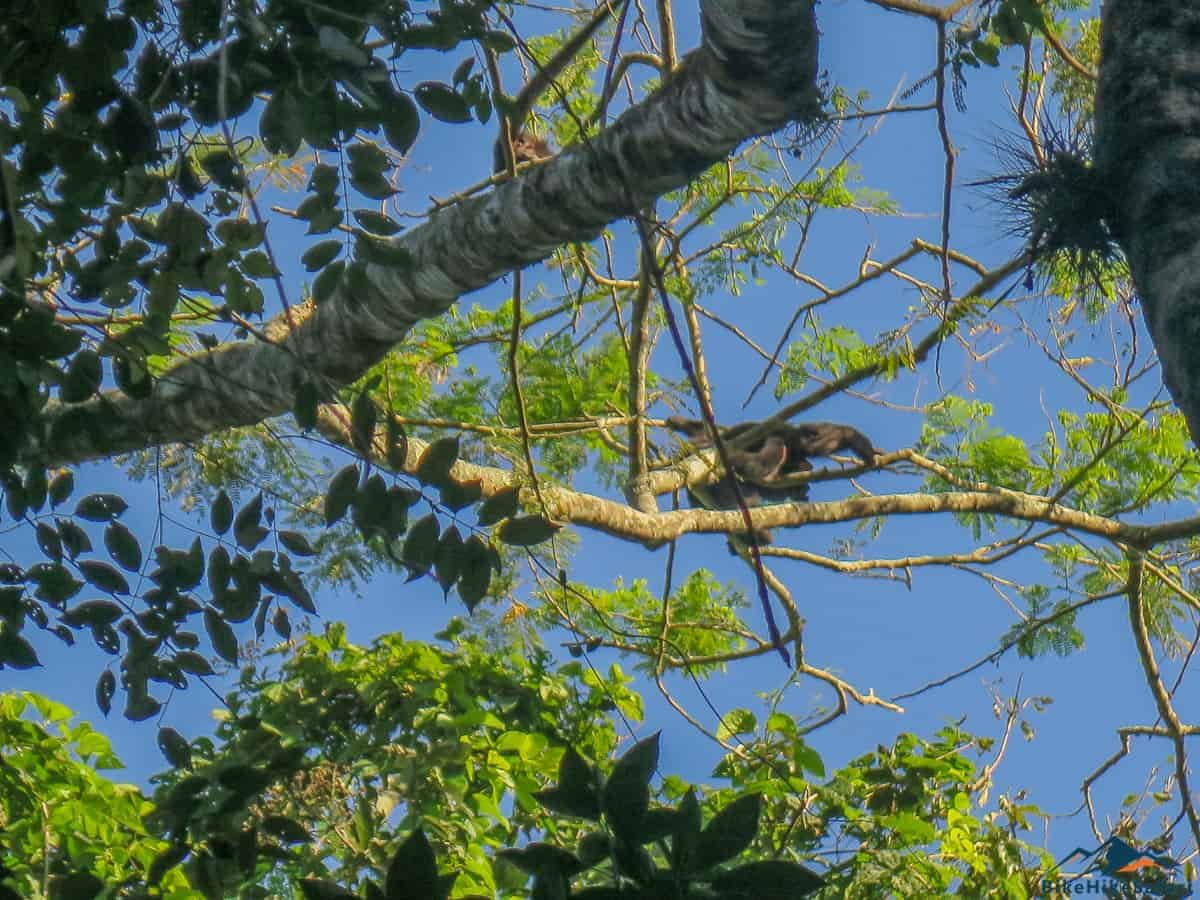 Howler Monkeys at Palenque