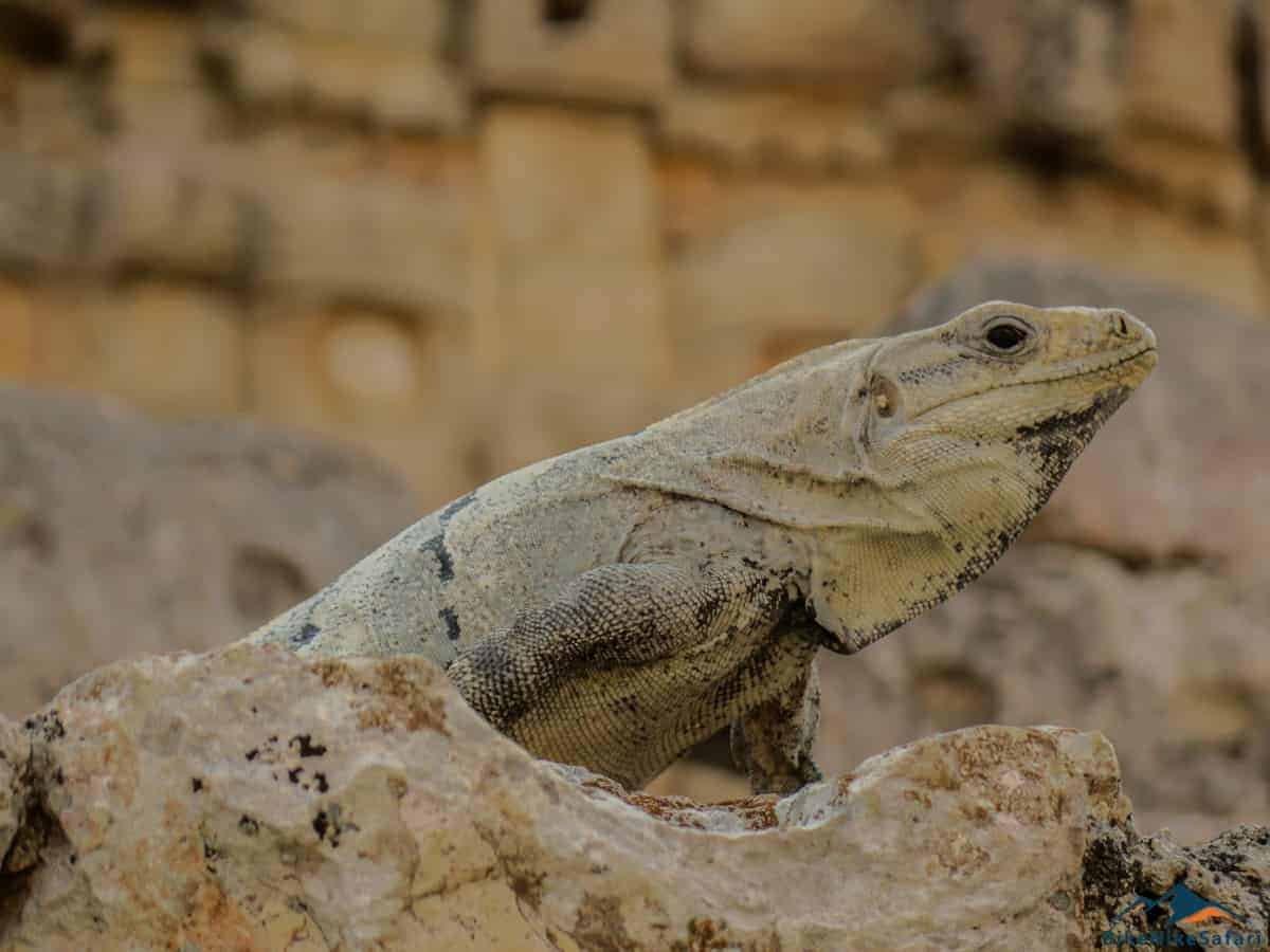 Iguana Kabah